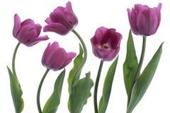 Tulip Royalty Free Stock Image