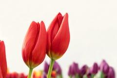 Free Tulip Royalty Free Stock Photography - 29297587