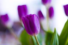 Free Tulip Royalty Free Stock Image - 3152126