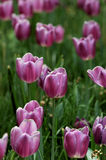 Tulip. Photo at Beijing Zhongshan Park Stock Photos