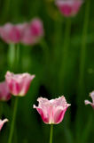 Tulip. Photo at Beijing Zhongshan Park Royalty Free Stock Photo
