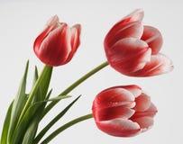 Tulip. Beautiful red white three tulips Stock Photo