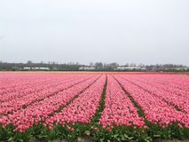 Tulip. A tulip nursery in the Netherlands Stock Photography