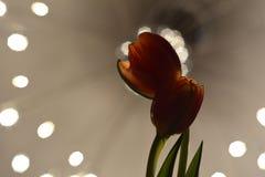 Free Tulip Stock Images - 45212334