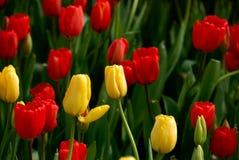 Free Tulip Stock Images - 4674404