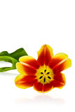 Tulip. Spring tulip on the uniform background Stock Images