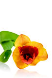 Tulip. Spring tulip on the uniform background Stock Image