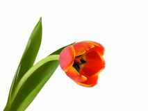 Tulip. Colorful tulip isolated on a white background Royalty Free Stock Photos