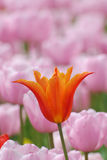 Tulip. Close up tulip in a flower bed, in early spring Royalty Free Stock Photos
