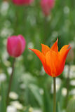 Tulip. Close up tulip in a flower bed, in early spring Royalty Free Stock Photo