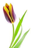Tulip. Isolated on white background stock photo