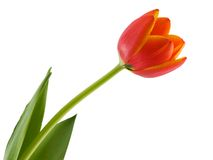 Tulip. Colorful tulip isolated on a white background Stock Photo