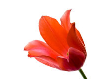 Tulip. Red tulip isolated on white background Stock Image