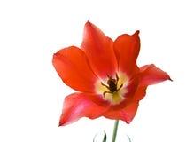 Tulip. Red tulip isolated on white background Stock Photo