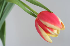 Tulip. Red yellow tulip Royalty Free Stock Images