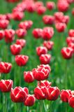 Tulip. A bright red mass of tulip blooms royalty free stock photography