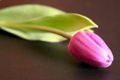 Tulip Stock Photos