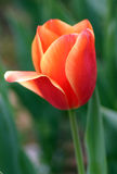 Tulip Royalty Free Stock Photography