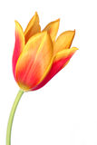 Tulip 7. Spring tulip over white Royalty Free Stock Photo