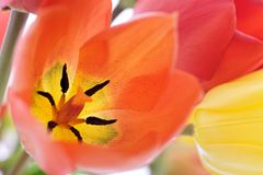 Tulip. Colorful tulip blossoms, close up Royalty Free Stock Photo