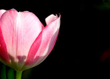 Tulip. Pink Tulip against black background Royalty Free Stock Photography