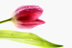 Tulip. A beautiful pink tulip with rain drops Royalty Free Stock Images