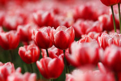 Tulip. Beautiful red tulip  bloom  in spring Royalty Free Stock Photography