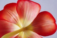Tulip. Close-up Stock Photography