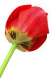 Tulip. Isolated on white background Stock Image