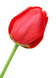Tulip. Isolated on white background Stock Images