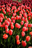 Tulip. A, commonly called , is a genus of about 150 species of bulbous flowering plants in the family Liliaceae.[1] The native range of the species includes Royalty Free Stock Image