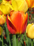 Tulip Fotos de Stock