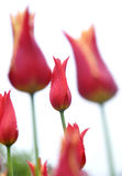 Tulip. A red tulip with more tulips in the background Stock Photography