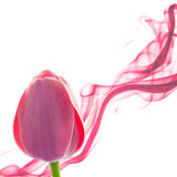Tulip abstract background with design element on white Stock Photo