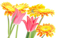 Tulip and african daisy Stock Photos