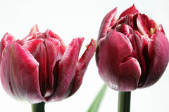 Tulip against white Background Stock Photography