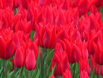 Tulip `Aladdin`, lily-flowered tulip, goblet-shaped flowers with sharp pointed petals.. Many tulips blooming in the garden. Tulip `Aladdin`, lily-flowered tulip stock photo