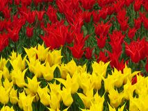 Tulip `Aladdin`, lily-flowered tulip, goblet-shaped flowers with pointed petals. Many red and yellow tulips blooming. Beautiful spring flower in sunny spring royalty free stock photography