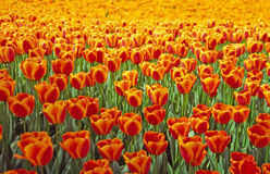 Tulip alaranjado Foto de Stock