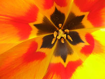 Tulip alaranjado Imagem de Stock Royalty Free