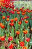 tulip alaranjado Fotos de Stock Royalty Free