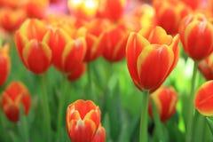 tulip alaranjado Fotos de Stock