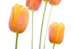 Tulip alaranjado isolado no branco Imagens de Stock Royalty Free