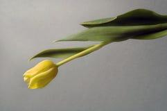 Tulip amarelo imagem de stock royalty free
