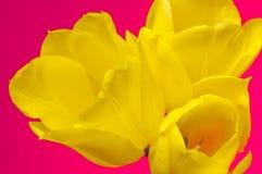 Tulip amarelo foto de stock royalty free