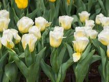 Tulip amarelo #01 Imagens de Stock Royalty Free