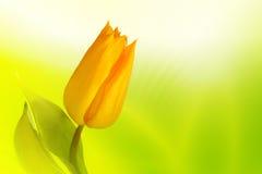 Tulip amarelo Fotografia de Stock