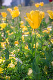 Tulip amarelo #01 fotografia de stock royalty free