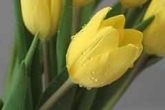 Tulip amarelo do orvalho Fotografia de Stock