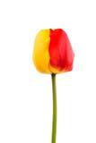 tulip Amarelo-vermelho imagem de stock